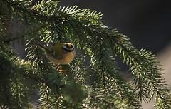 Regulus ignicapilla (TowandaMilk) Tags: bird photography photographie regulus oiseau orangé naturaliste roitelet passereau passériforme regulidé