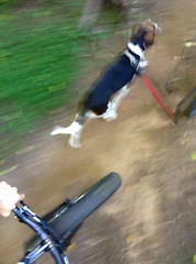 2016 Bike 180: Day 173 (bdroit) Tags: mountainbike avalon atb trailride singletrack treeingwalkercoonhound fatbikes morningride patapscostatepark fatbike 2016bike180
