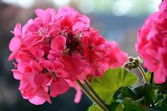 Nice - Not - Nice (emerge13) Tags: flowers fleurs plantes pelargonium nicefrance zonalgeranium saariysqualitypictures 14juillet2016 july142016 bastille2016 géraniumzoné