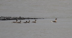 Pink-footed Geese (jameslidster1) Tags: travel bird james iceland wings tour birding seabird sunbird ijsland lidster