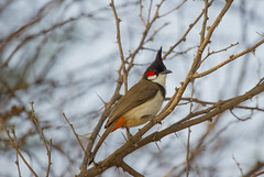 The red-whiskered bulbul (brb_clicks) Tags: canon india bangalore bulbul