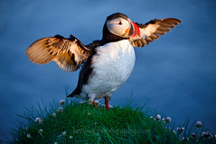 I Am Puffin, Hear Me Roar (Ken Lee Photography) Tags: puffin kenleephotography iceland latrabjarg nikon d610 birds nature wildlife westfjords sea parrot clowns bird cliffs