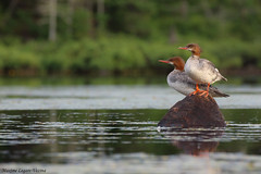 Grand harle / Common merganser (Maxime Legare-Vezina) Tags: bird oiseau nature duck canard animal wild wildlife fauna biodiversity canon water ornithology