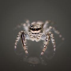 Marpissa muscosa (Werny Michael Photographie) Tags: reflection marpissamuscosa spider macro araigne animaux 7dmarkii rflection arachnide salticidae belgique macrophotographie