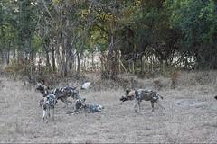 10075528 (wolfgangkaehler) Tags: africa nationalpark african wildlife predator zambia africanwilddog southernafrica predatory 2016 africanhuntingdog zambian southluangwanationalpark africanwilddoglycaonpictus