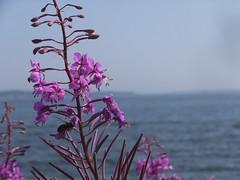 (Lalallallala) Tags: suomi finland helsinki hernesaari maitohorsma vegetation sea chamaenerionangustifolium fireweed willowherb
