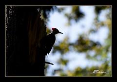 Pileated Woodpecker (the_coprolite) Tags: pileatedwoodpecker coquitlam portcoquitlam bc britishcolumbia hoycreek lafargelake canada nikon d750 sigma 150600mm