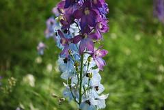 Delphinium, the colours of (2) (Danielle Carrier) Tags: delphinium perennial perennials