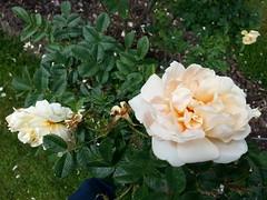 Thorns of Agnes rose are really beautiful! (HAKANU) Tags: sweden smland garden summerhouse cabin cottage rose flower rosegarden agnesrose agnes apricot yellow bush shrub