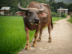 Good Morning! (grapfapan) Tags: buffalo vietnam countryside animal encounter farmanimal