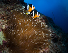 Mr. and Mrs. Clark, Maeda Misaki, Okinawa, Japan (RCG Maru) Tags: yellow clarksanemonefish amphiprionclarkii anemonefish seaanemone okinawaanemonefish okinawaanemones maedamisaki maedapoint okinawascubadiving nikond800 nikond800underwater sigma15mmlensunderwater rcgmaru rcgmaruunderwaterphotography russellcgilbertunderwaterphotography