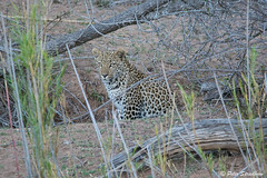 Leopard hiding in the bushes at Lake Panic (pspradbrow) Tags: leopard krugernationalpark southafrica peterspradbrowwildlifephotography peterspradbrow bigcat cat animal predator africa hiding camouflage
