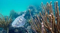 Under the sea (seba307@ymail.com) Tags: coralreef seaturtle ocean florida