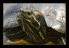 You're judging me, aren't you? (the_coprolite) Tags: red canada nikon bc turtle britishcolumbia sigma d750 slider coquitlam portcoquitlam eared hoycreek 150600mm