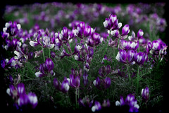 The Gathering of Souls (Groovyal) Tags: thegatheringofsouls gathering souls thegathering flowers purple wild weed nature eden beauty flora art photography groovyal