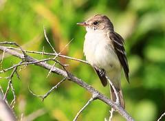 willow flycatcher at Cardinal Marsh IA 854A3059 (lreis_naturalist) Tags: county cardinal reis iowa willow larry marsh flycatcher winneshiek