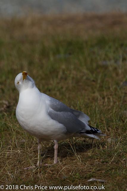 Herring Gull, Port Cornaa
