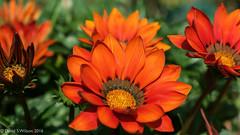 Gazinia Glow (David S Wilson) Tags: england flowers flower flowersplants adobelightroom6 fens ely fujinonxf1855mm284rlmois davidswilson uk fujifilmxpro1 provia
