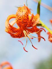 (Polotaro) Tags: flower nature pen garden olympus    6    mzuikodigital45mmf18 epm2
