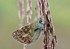 brown argus (Suzie Noble) Tags: struy strathglass silverstuddedblue butterfly horseshoebog water bog mauld