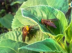Horseflies (Hasan Yuzeir) Tags: macro green nature insect leaf phone samsung galaxy sunflower horseflies hasanyuzeir