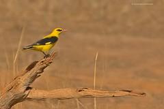 The Indian golden oriole (Devendra Deshmukh) Tags: nikond7100 birds golden oriole ranthambhore india