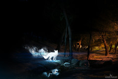 188 Light Fox (Zorrito de luz) Final (Alejandro Valenciano) Tags: mexico photography photos fotos 365 alejandro monterrey valenciano