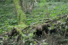 Broken tree (FailureCriteria) Tags: forest wood floor green nikon d5100 50mm