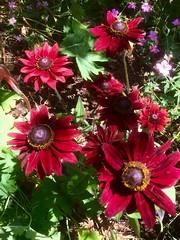 Rudbeckia (Bury Gardener) Tags: rudbeckia garden plant