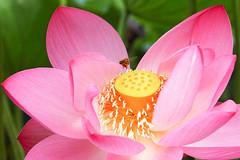 Lotus and bee (shinichiro*) Tags: 20160728sdq0375 2016 crazyshin sigmasdquattro sdq sigma18300mmf3563dcmacrooshsm summer july flower macro lotus bee  gyoda saitama japan