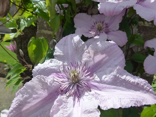 Lilac Clematis