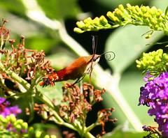 hummingbird-moth-40w (egdc211) Tags: connecticutbird connecticutbirds canon connecticutwildlife birdwatcher bird backyardbirding birds naturewatcher newenglandbird nature newenglandwildlife newenglandwildlifephotography ornithology outdoors hummingbirdmoth