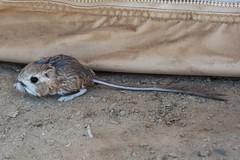 Merriam's Kangaroo Rat (lacey underall) Tags: mexico baja bajacaliforniasur scorpionbay sanjuanico islandsandseas mammal kangaroorat merriamskangaroorat rodentia rodent heteromyidae dipodomys dipodomysmerriami