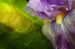 Kissed by a sunbeam (bresciano.carla) Tags: viola trioplan pentax cogne naturalmente flower yellow