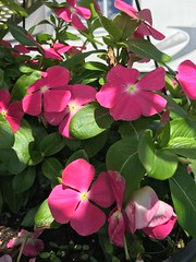 Vinca (King Kong 911) Tags: vinca flowers dog butterflies creek
