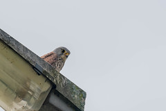 Urban Kestrel  |  Turmfalke (abritinquint Natural Photography) Tags: bird vogel natural wildlife nature wild nikon d750 telephoto 300mm pf f4 300mmf4 300f4 nikkor teleconverter tc17eii pfedvr germany kestrel turmfalke urban streetlight lamp watch
