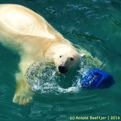 ijsberen_21 (Arnold Beettjer) Tags: wildlands emmen dierenpark dierentuin dierenparkemmen ijsbeer ijsberen polarbear
