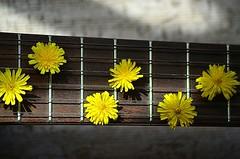In the first sweet sleep of night ... I will sing a midnight serenade for you. (natus.) Tags: flowers yellow guitar strings macro music musicalnotes httpwwwimagekindcomartistsdonatus indoor serenade sing midnightserenade