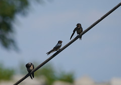 barn swallows (foxtail_1) Tags: lagrandehermine thebigweasel jordanharbour shipwreck swallow barnswallow hirundorustica