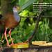 Russet-naped Wood-Rail, Aramides albiventris