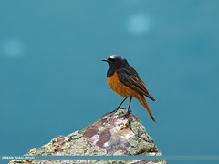 Black Redstart (Phoenicurus ochruros) (gilgit2) Tags: avifauna birds blackredstartphoenicurusochruros canon canoneos7dmarkii category fauna feathers geotagged gilgit gilgitbaltistan imranshah location naltar pakistan species tags tamron tamronsp150600mmf563divcusd wildlife wings gilgit2 phoenicurusochruros