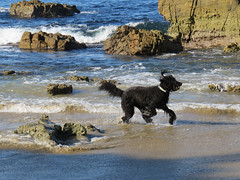 Benni's Beach Day! (Bennilover, off for a week's vacation) Tags: lagunabeach saturday early morning dog dogs benni labradoodle ocean pacific rocks waves playing swimming jumping zoomies joy bliss fun