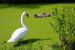 Zwanen (fotorotterdam) Tags: swan nest cygnets zwaan zwanen jongezwanen rotterdam alexanderpolder prinsenland park