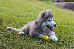 Rufus il dolcissimo cucciolo (glank27) Tags: dog rufus huskie malamute puppy canon eos 70d ef ef70300mml f456l karl glanville garni lilly canine animals wildlife cute