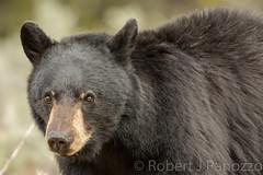 Face shot (ChicagoBob46) Tags: blackbear bear boar yellowstone yellowstonenationalpark nature wildlife