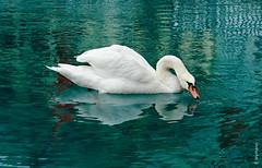 swan (welenna) Tags: aare autumn river fluss swiss swan schwitzerland schwan vogel bird wasserspiegel water wasser