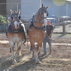 2016 Durham CT Fair (caboose_rodeo) Tags: 1017 drafthorse belgians cotest dusty backlit