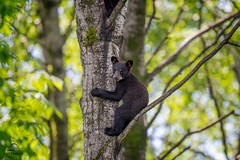 Black Bear Cub in Tree *in explore* (Glatz Nature Photography) Tags: inexplore explore blackbear minnesota nature northamerica northernminnesota vinceshutewildlifesanctuary wildanimal wildlife ursusamericanus bearcub bearintree climber climb perch safe cub eyecontact northwoods