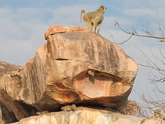 FSCN4060b (David Bygott) Tags: africa tanzania ruaha yellowbaboon kopje rock ruahariverlodge