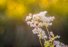 Hey Babe, whats in your Eyes (*Capture the Moment*) Tags: 2016 backlight bloom blossom blten bokeh gegenlicht pflanzen sonne sonnenuntergang sonynex7 sun sunset trioplan28100neo wetter blossoms weiss white